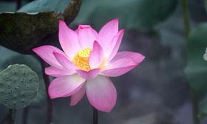 盛开的粉色荷花特写高清摄影图片