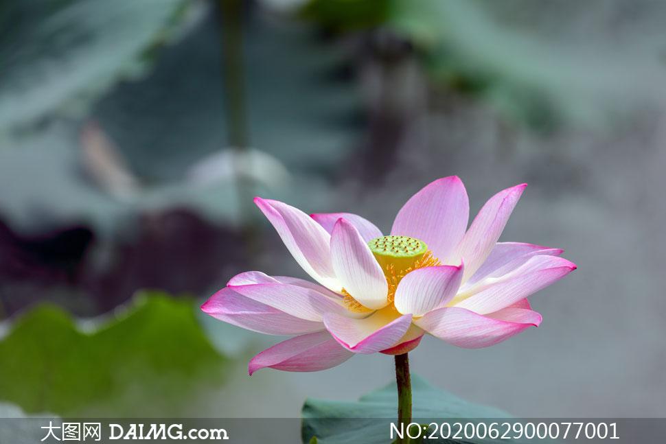 绽放的粉色荷花高清摄影图片