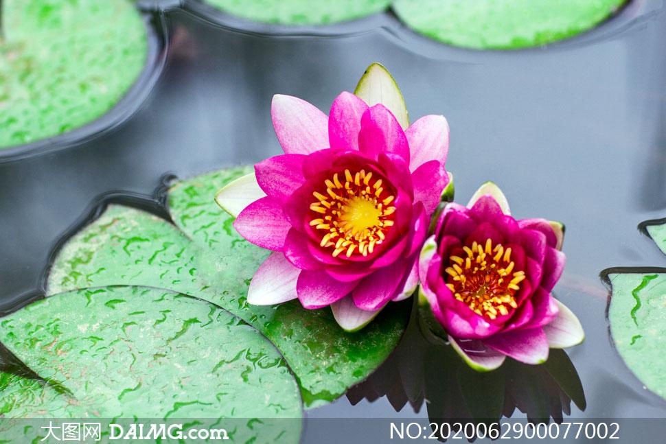 两朵盛开的粉色莲花高清摄影图片