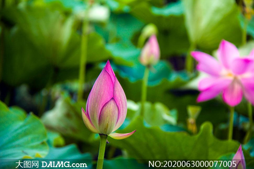 荷花池中含苞待放的荷花花苞摄影图片