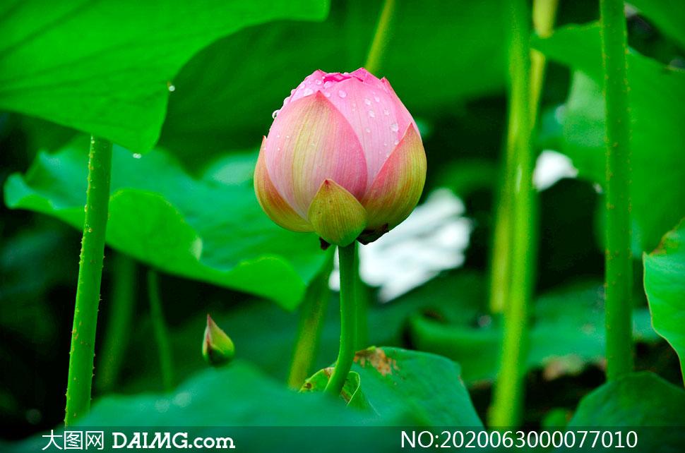 含苞待放的粉色荷花高清摄影图片
