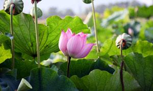 荷塘中盛开的荷花和莲蓬摄影图片