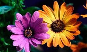 橙色和紫色菊花高清摄影图片