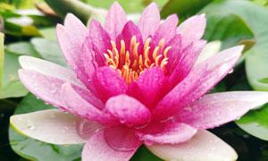 雨后沾满水珠的粉色莲花摄影图片