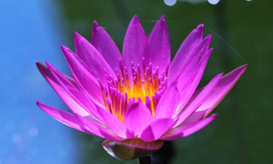 盛开的紫色莲花特写高清摄影图片