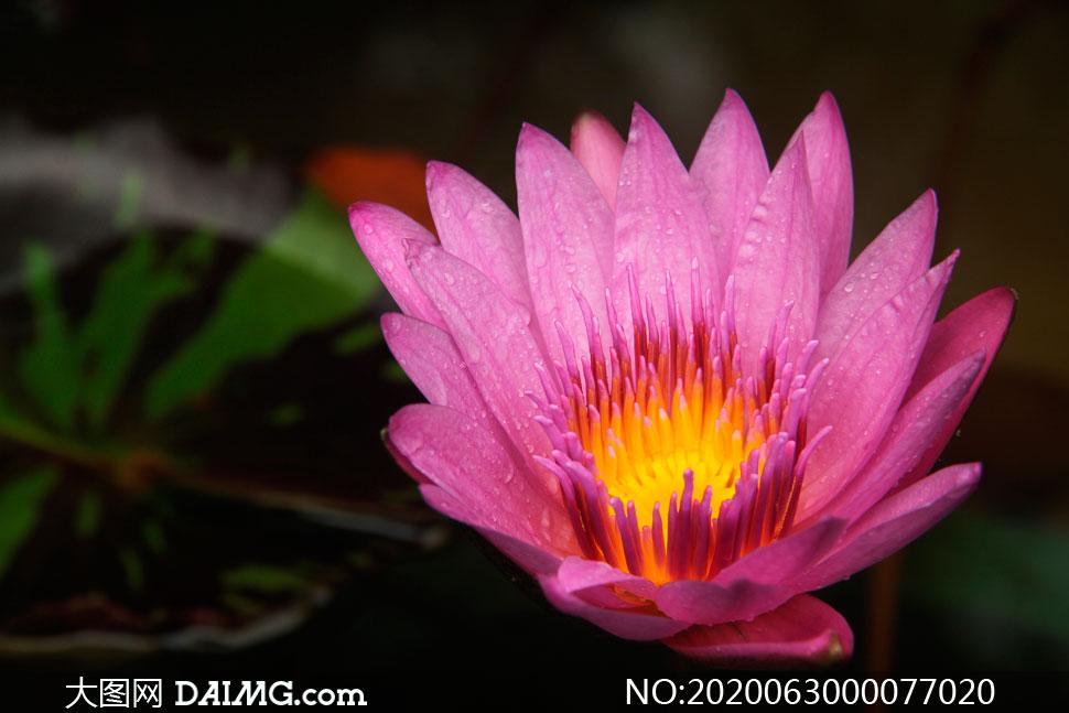 沾满水珠的红色莲花高清摄影图片