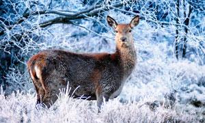在野外對周邊保持警惕的鹿高清圖片