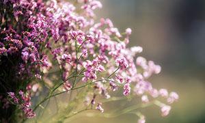 枝头盛开的粉色满天星摄影图片