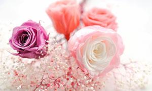 玫瑰花和粉色满天星摄影图片