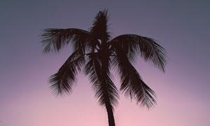 傍晚在海边攀爬椰树的人摄影图片