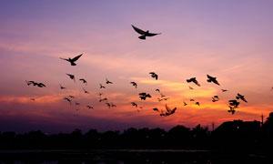 傍晚湖面上飞行的鸟群高清摄影图片