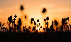 黄昏下的罂粟剪影摄影图片