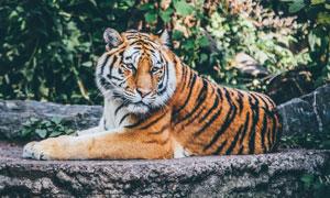 一只趴臥著的老虎特寫攝影高清圖片