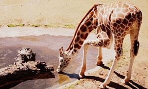來到水源飲水的長頸鹿攝影高清圖片