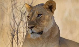 一頭在看著什么的獅子攝影高清圖片