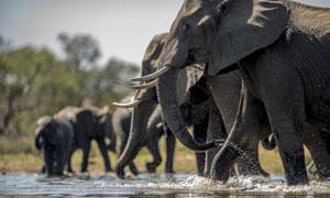 一群正在喝水的大象群攝影高清圖片