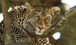 趴在樹上伺機出動的豹攝影高清圖片