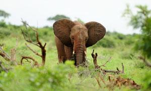 草地上的枯樹枝與大象攝影高清圖片
