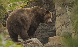 正在巖石間覓食的大熊攝影高清圖片