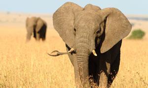 草原上行走的大象特寫攝影高清圖片