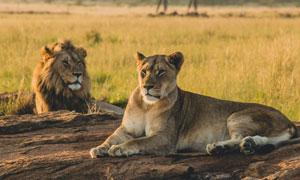 草原上的雄獅與母獅子攝影高清圖片