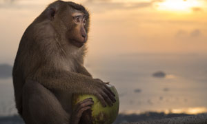 一只緊抱著椰子不放的猴子高清圖片