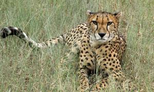 在亂草叢中的一只獵豹攝影高清圖片
