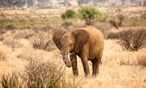草原上一頭落單的大象攝影高清圖片