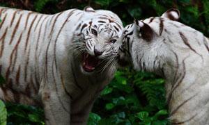 兩只在對峙的白化孟加拉虎高清圖片