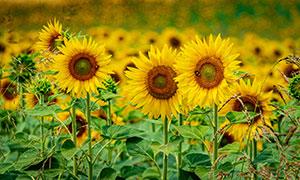葵花园里盛开的向日葵摄影高清图片