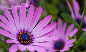 漂亮紫色鲜花近景特写摄影高清图片