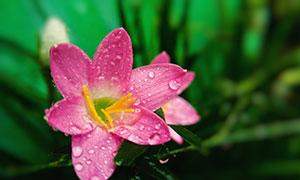 在花瓣挂着晨露的花朵摄影高清图片