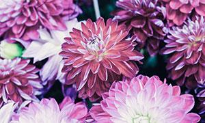 盛开的大丽花植物特写摄影高清图片