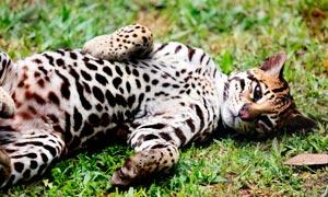 躺在草地上的貓咪寵物攝影圖片