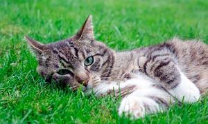 躺在綠色草地上的貓咪攝影圖片