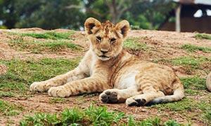 動物園中躺著的豹子攝影圖片