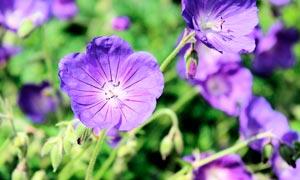 紫色的老鹳草花朵摄影图片