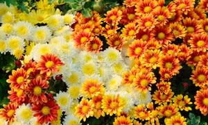 各种盛开的菊花美景摄影图片