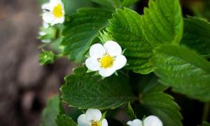 白色盛开的草莓花摄影图片