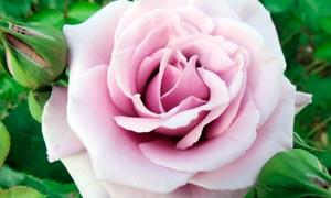 自然盛开的粉色玫瑰花高清摄影图片