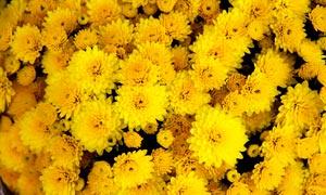 盛开的黄色菊花背景摄影图片