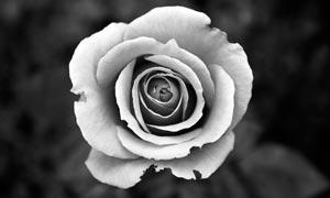 黑白盛开的玫瑰花摄影图片
