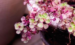 盆栽中的小球玫瑰摄影图片