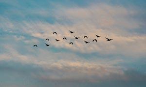 傍晚天空中飞行的鸟群摄影图片