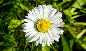 盛开的白色菊花特写摄影图片