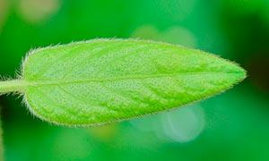 毛绒绒的绿色叶子特写摄影图片