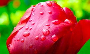 沾满水珠的红色玫瑰花摄影图片