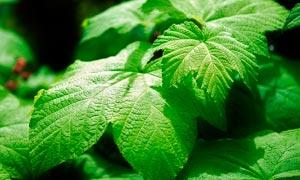 绿色的植物叶子特写摄影图片
