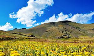 山腳下漫山遍野的黃色野花攝影圖片