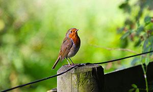 在木樁上棲息的小鳥特寫攝影圖片